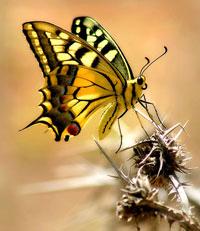 Бабочка и колючка