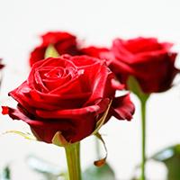 Если укололись шипами розы. Приметы о розах