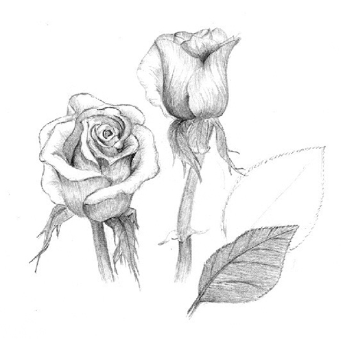 Две розы - рисунок карандашом