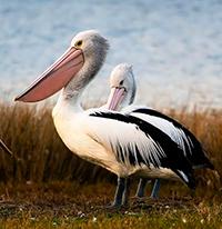 Стихи про пеликана, пеликанов