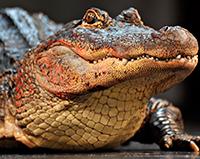 Стихи про крокодила, крокодилов