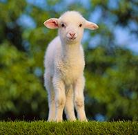 Стихи про овец, баранов, овечку, барашка