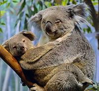 Стихи про коалу