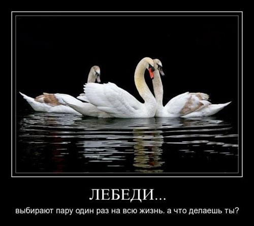 Лебеди выбирают пару один раз на всю жизнь. А что делаешь ты?