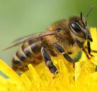 Стихи про пчелу, пчёлку, пчел