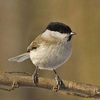 Стихи о птице гаичка