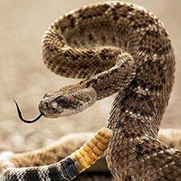 Стихи о гремучей змее