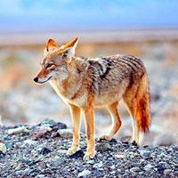 Стихи про койота