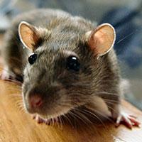 Стихи про крысу