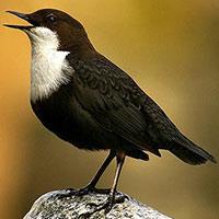 Стихи о птице оляпка