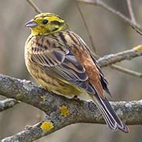 Стихи о птице овсянка