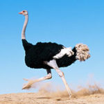 Стихи о страусах