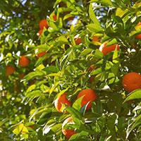 Стихи о апельсиновом дереве