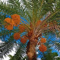 Стихи о финиковом пальме