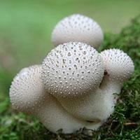 Стихи про гриб дождевик