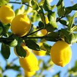 Стихи о лимонном дереве