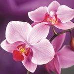 Стихи про орхидею