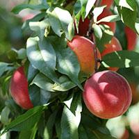 Стихи о персиковом дереве