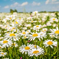 Ромашковое поле — стихи