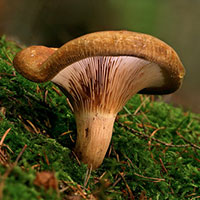 Стихи про грибы свинушки