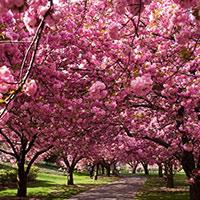 Стихи о вишневом дереве, вишневом саде