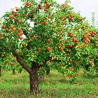 Стихи о яблоне