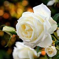 Белые розы — стихи