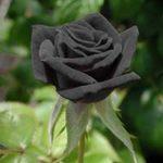 Черные розы — стихи