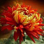 Стихи о хризантеме