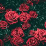 Стихи о розе, розах