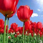 Стихи о тюльпане
