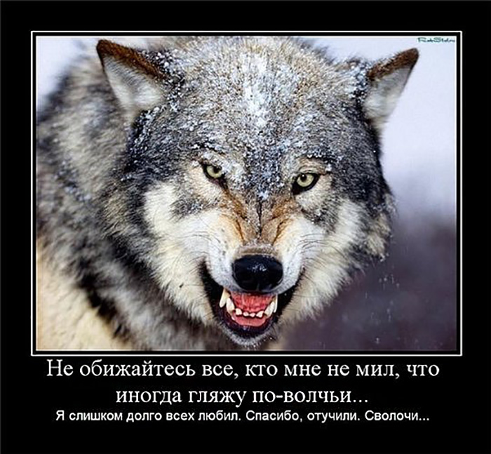 Не обижайтесь все, кто мне не мил, что иногда гляжу по-волчьи...