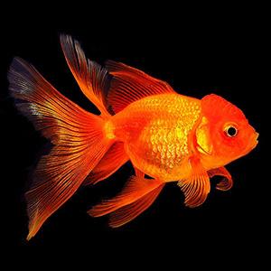 Загадки о Золотой рыбке