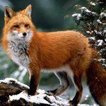 Загадки о лисе