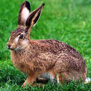 Загадки о зайце