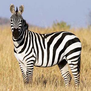 Загадки про зебре