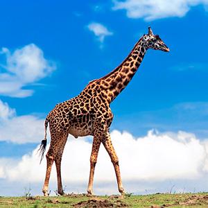 Загадки про жираф
