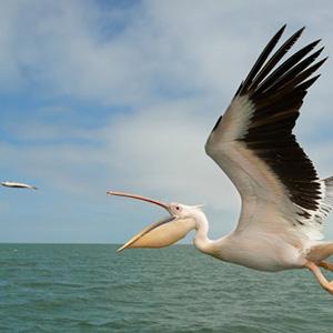 Загадки о пеликане