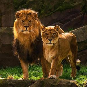 Загадки про льва, львицу