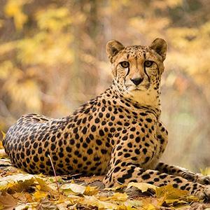 Загадки о гепарде