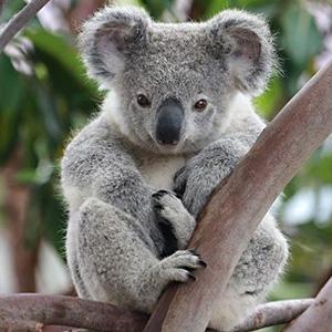 Загадки о коале